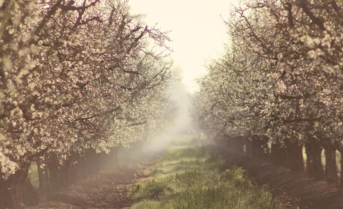 яблони белые тропа сад